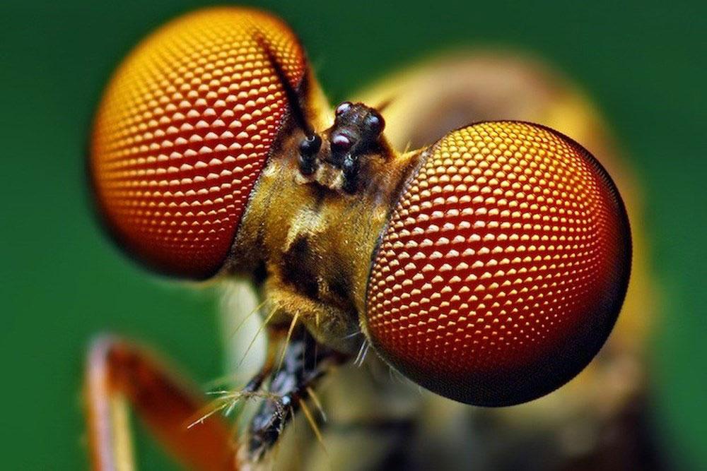 Mắt côn trùng có hai loại đơn và khép đều có khả năng nhìn thấy và bị thu hút bởi tiu UVA